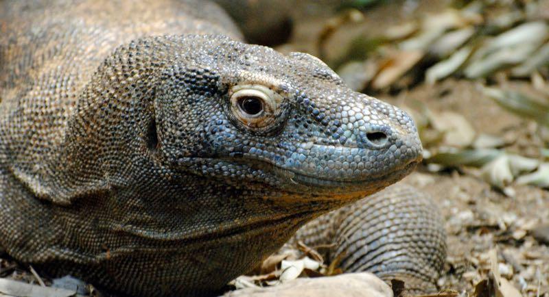photo credit: Komodo Dragon, London Zoo via photopin (license)