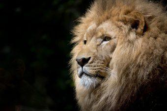 Primer trabajo de Hércules, el León de Nemea